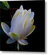 Water Lily Blossom In Shadows Metal Print