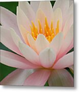 Water Lily II - Close Up Metal Print