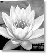 Water Lily In Black And White Metal Print
