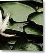 Water Lily Pad Metal Print