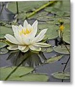 Water Lily Pictures 45 Metal Print