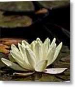 Water Lily Pictures 67 Metal Print