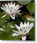 Water Lily Pictures 75 Metal Print