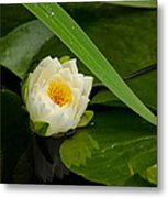 Water Lily Reflection Metal Print