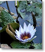 Water Lily Metal Print by Sharon McLain