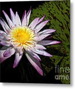 Water Lily With Lots Of Petals Metal Print