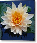 Waterlily After A Shower Metal Print