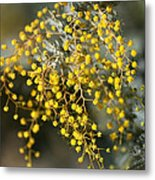 Wattle Flowers Metal Print