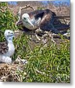 Waved Albatross  And Young Metal Print