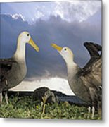 Waved Albatross Courtship Dance Metal Print