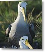 Waved Albatross Mate In Galapagos Metal Print