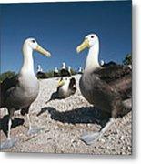 Waved Albatrossed On Nesting Grounds Metal Print