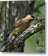 Waxwing Lunchtime Metal Print