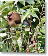 Waxwing Meal Metal Print