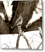 Waxwing Perched Metal Print