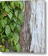 Weathered Tree Trunk With Vines Metal Print