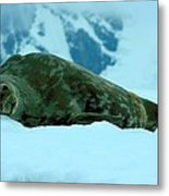 Weddell Seal Metal Print