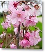 Weeping Cherry Blossoms Metal Print