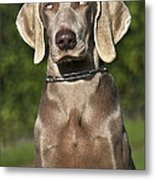 Weimaraner Hunting Dog Metal Print