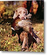 Weimaraner Hunting Dog Retrieving Ring Metal Print