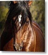 Welsh Cob Stallion Metal Print