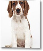 Welsh Springer Spaniel Dog Metal Print