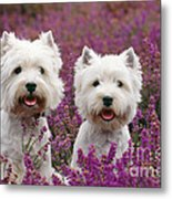 West Highland Terrier Dogs In Heather Metal Print
