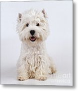 West Highland White Terrier Dog Metal Print