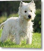 West Highland White Terrier Metal Print