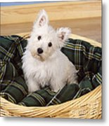 West Highland White Terrier Puppy Metal Print