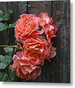 Westerland Rose Wood Fence Metal Print