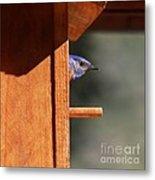 Western Bluebird At Nest Metal Print