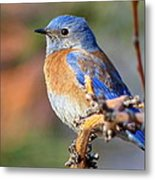 Western Bluebird Profile Metal Print