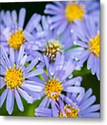 Western Daisies Asters Glacier National Park Metal Print