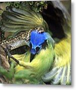 Western Diamondback Rattlesnake Striking Green Jay Metal Print