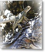 Western Fence Lizard Aka Blue-belly Lizard Metal Print
