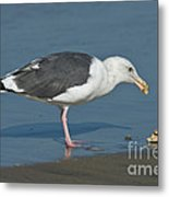 Western Gull Eating Clam Metal Print