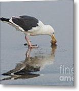 Western Gull Eats Clam Metal Print