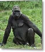 Western Lowland Gorilla Female Metal Print