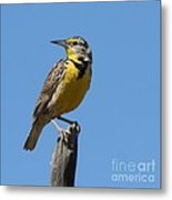 Western Meadowlark Perching Metal Print