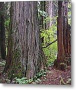 Western Red Cedar Grove Metal Print