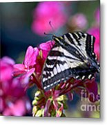 Western Tiger Swallowtail Butterfly On Geranium Metal Print