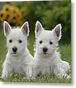 Westie Puppies Metal Print