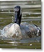 Wet And Wild - Canadian Goose Metal Print
