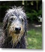 Wet Dog Metal Print
