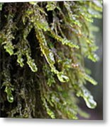Wet Redwood Branches Metal Print