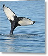 Whale's Tail Metal Print