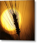 Wheat At Sunset  Metal Print by Tim Gainey