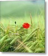 Wheatfield Poppy Metal Print