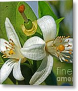 Where Oranges Come From Blossoms Metal Print